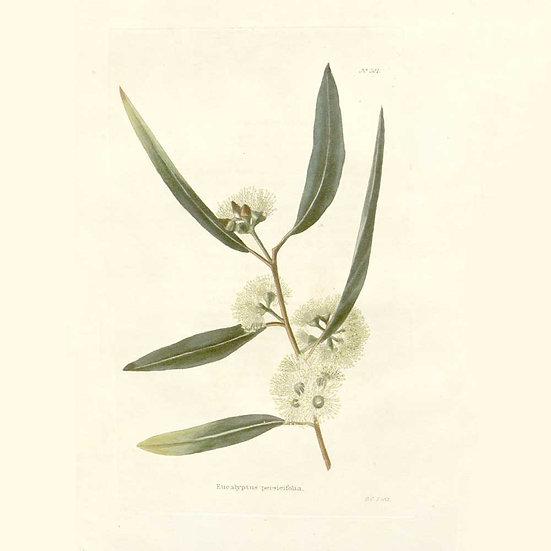Eucalyptus à cryptone (ou polybractea)