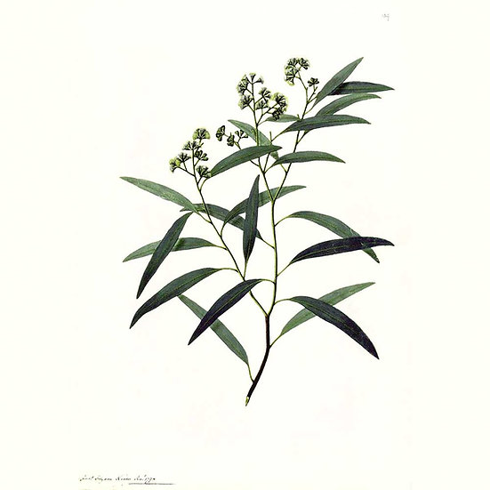 Eucalyptus staigeriana