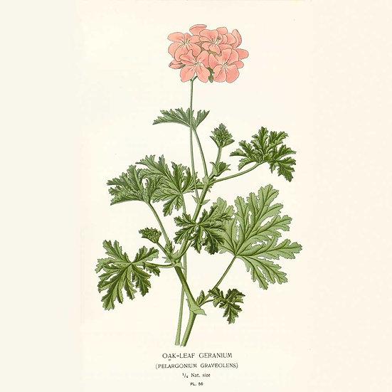 Géranium (Bourbon et Rosat)
