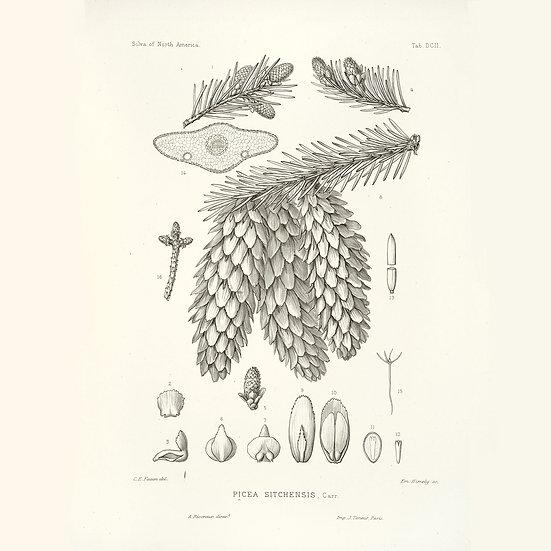 Épicea sitka ou épinette sitka