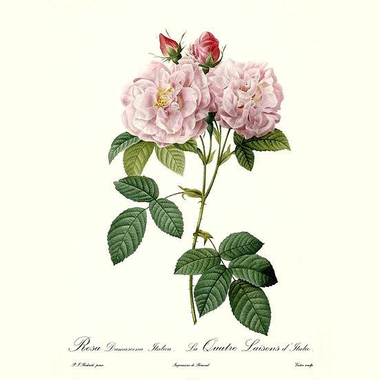Rose de Damas (Esprit)