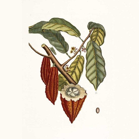 Cacao (Esprit)
