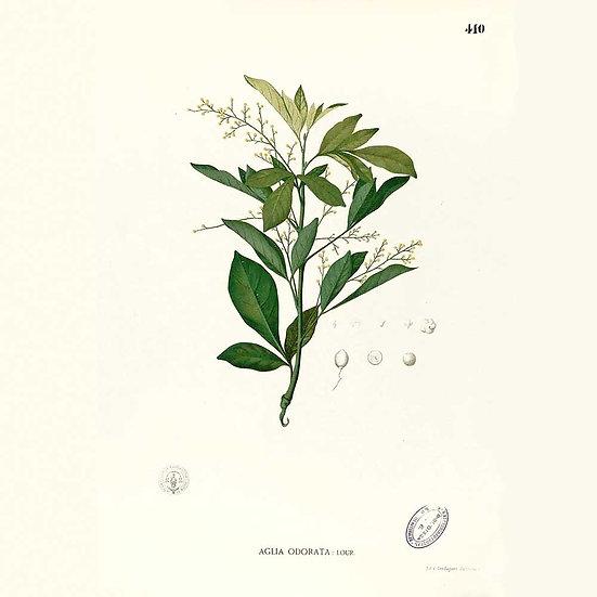 Aglaïa odorant (ou fleur de riz chinoise)