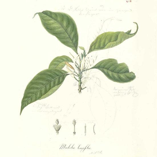 Magnolia feuilles