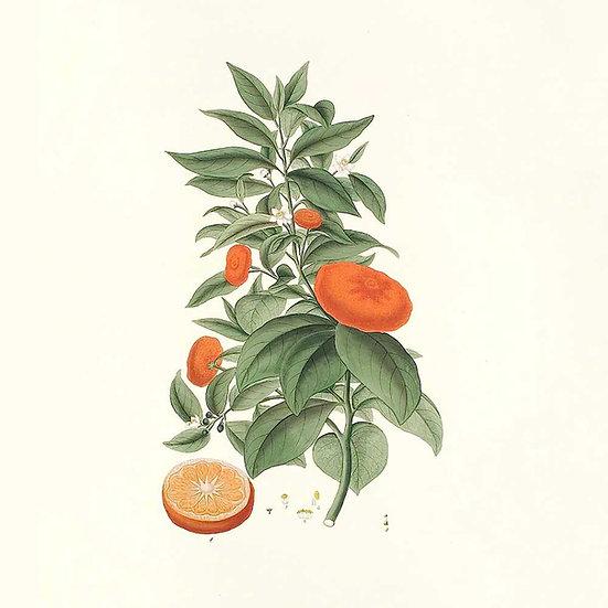 Petit grain mandarine