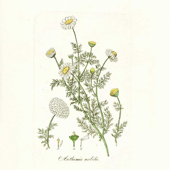 Camomille noble (ou camomille romaine)