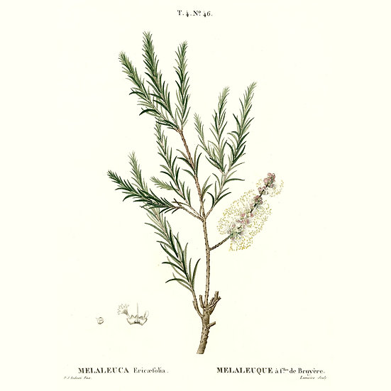 Tea tree à linalol rosalina