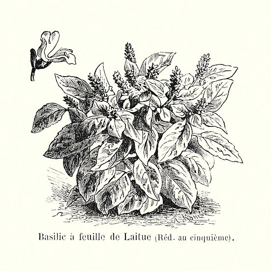 Basilic grand vert (ou à linalol)