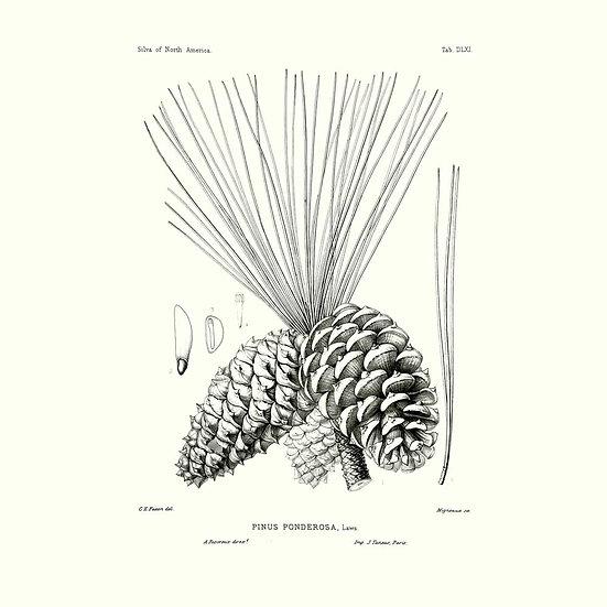 Pin de Patagonie (ou pin ponderosa)