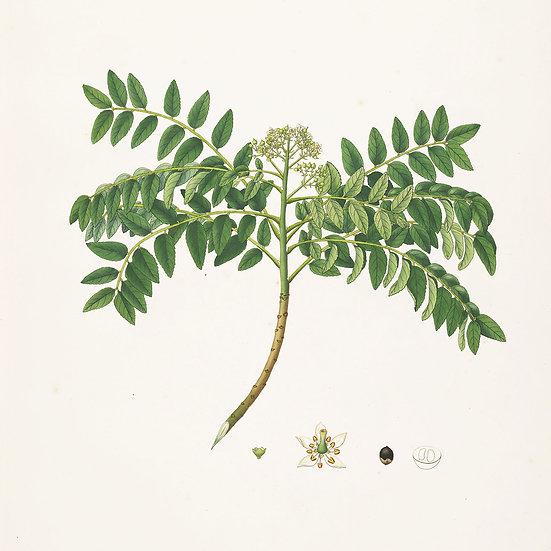 Curry feuilles ou kaloupile