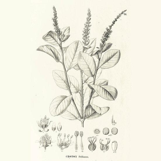 Croton cotoneaster