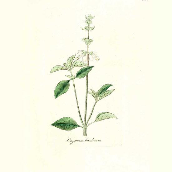 Basilic citronné