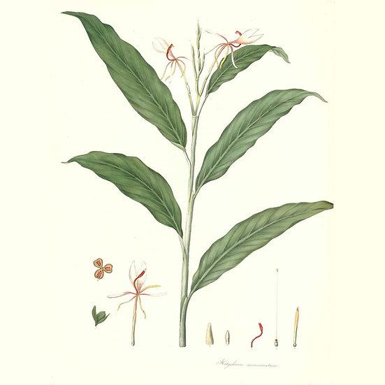 Gingerlily (ou Sanna)