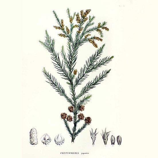 Sugi (Cryptomeria japonica)