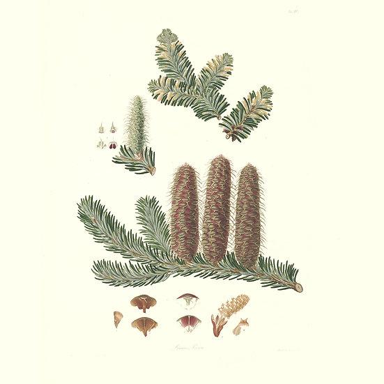 Sapin pectiné (ou sapin blanc)