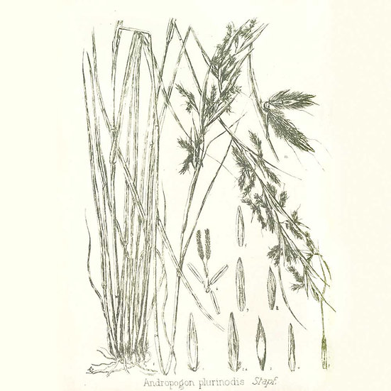 Gingergrass