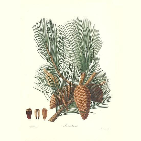 Pin maritime (ou pin des Landes)