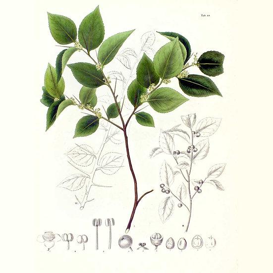 Croton geayi