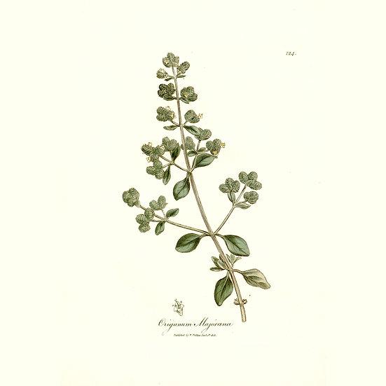Marjolaine à coquilles ou marjolaine des jardins