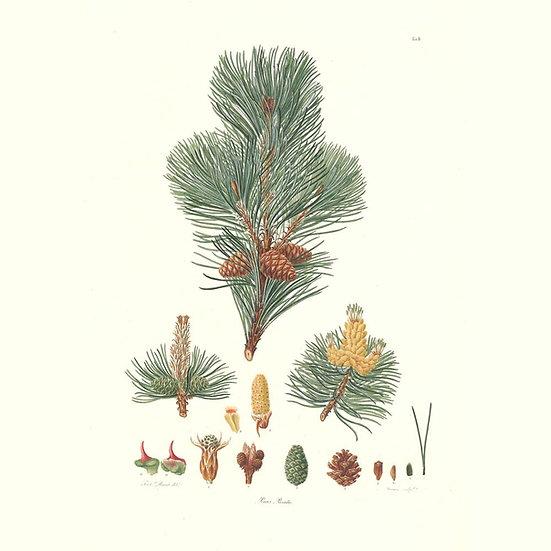 Pin mugo (ou pin des montagnes)