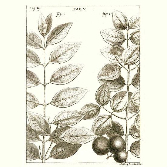 Santal d'Australie (ou santal spicatum)