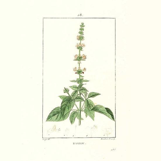 Basilic tropical (ou exotique)