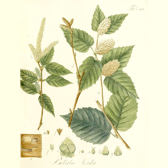 Bouleau merisier