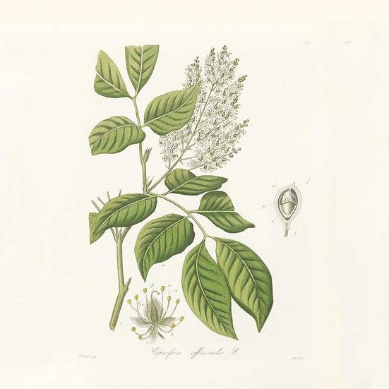 Copahu (ou copaïba)