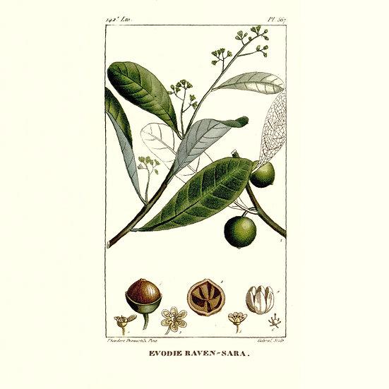 Ravensare aromatique
