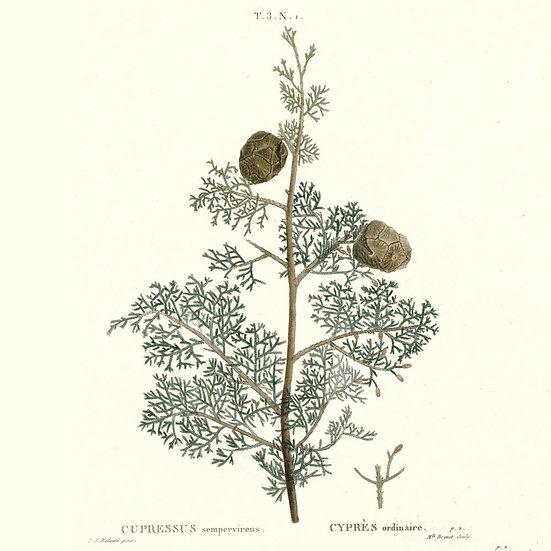 Cyprès de Provence (ou toujours vert)