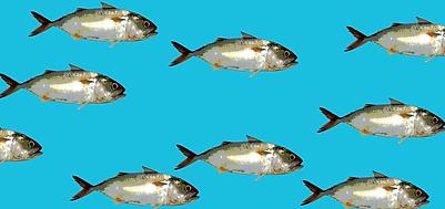 new mackerels