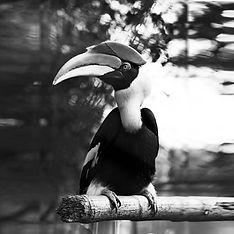 Hornbill BW.jpg