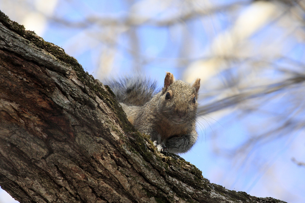 A squirrel in a tree while squirrel hunting
