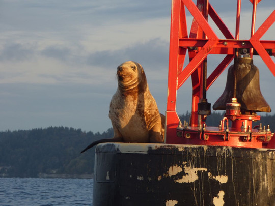 Steller's Sea Lion atop a channel marker