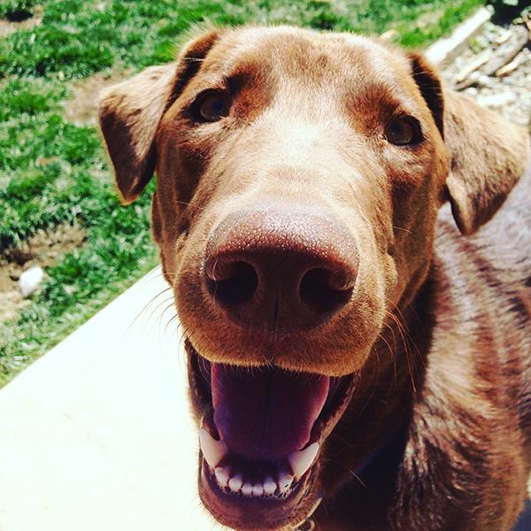 Chocolate Lab, Big Bear Canine Schoo