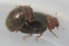 wa rhyzobius lophanthae_5581.JPG