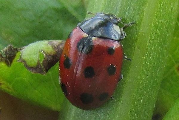 11-spot ladybird cudmore_2020.JPG