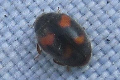 wa nephus quadrimaculatus_3042.JPG