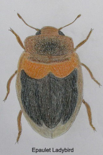 chrysomeloides_7936_edited.jpg