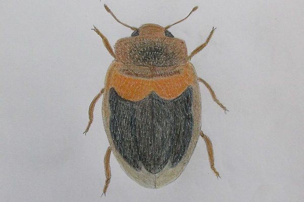 f chrysomeloides_7936.JPG
