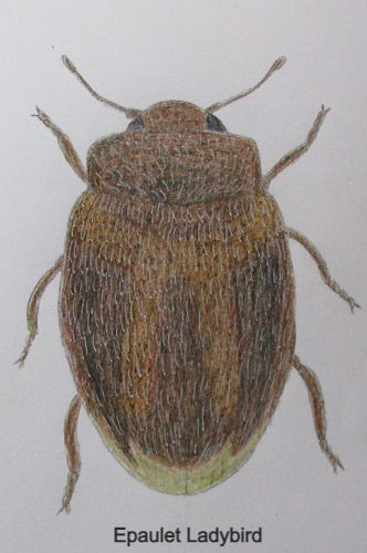 chrysomeloides_7571_edited.jpg