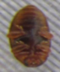 x ups rhyzobius chrysomeloides_5427.JPG