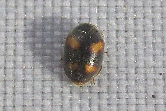 nephus quadrimaculatus_0984 (2).JPG