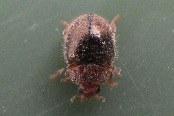 wa rhyzobius lophanthe_4826.JPG