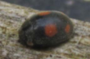 ant-nest ladybird_6842.JPG