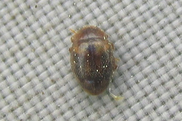 rhyzobius chrysomeloides 345.JPG