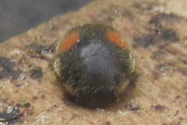 ant-nest ladybird_6846.JPG