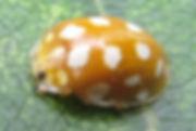 orange ladybird up_0378.JPG