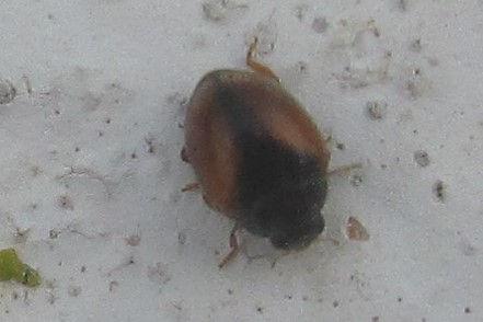 scymnus interruptus minorca_0798.JPG