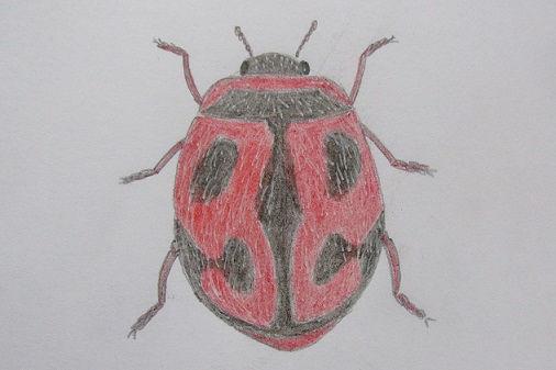 Rodolia cardinalis.JPG